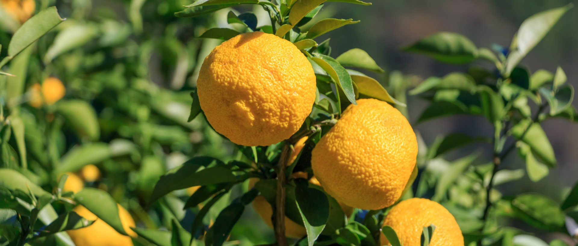 Organic Yuzu Fruit on a branch